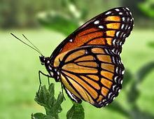 220px-Viceroy_Butterfly